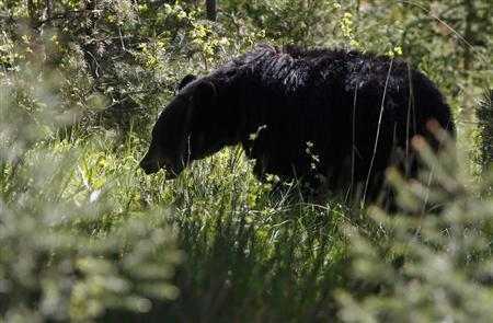 A black bear grazes on grasses in Yellowstone National Park, Wyoming, June 18, 2013. Yellowstone National Park is the world's first national park founded in 1872 and sits atop the largest super volcano in North America, the Yellowstone Caldera. REUTERS/Jim Urquhart
