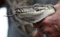 Бирманского питона демонстрируют прессе перед началом охоты на змей с участием сенатора Билла Нельсона в Эверглейдсе, Флорида, 17 января 2013 года. Правоохранительные органы города Ширли в штате Нью-Йорк обнаружили 850 змей, в том числе двух содержавшихся незаконно бирманских питонов, в доме и гараже местного жителя, сообщили СМИ. REUTERS/Joe Skipper