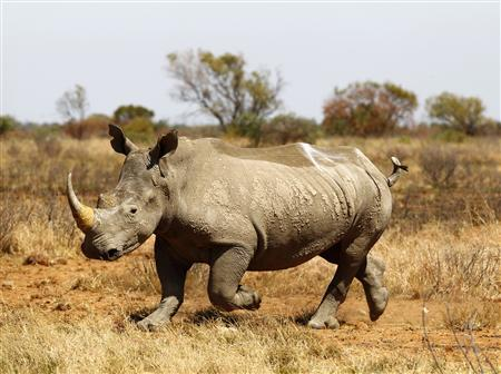 An eight-year-old rhino walks after being tagged with a GPS device at the Mafikeng Game Reserve in South Africa's North-West province, in this November 12, 2010 file photo. REUTERS/Siphiwe Sibeko/Files