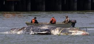 Тушу мертвого кита буксируют в море у побережья Сан-Франциско 9 мая 2008 года. Исследователи подводной жизни начали тестирование нового приложения для смартфонов, которое поможет судам избегать столкновений с китами в заливе Сан-Франциско. REUTERS/Kimberly White