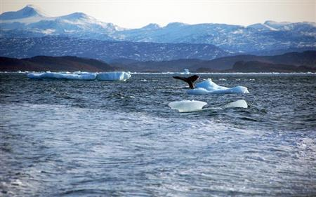 A whale dives into sea off the coast of Greenland's capital Nuuk October 17, 2012. REUTERS/Alistair Scrutton