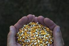Vilmorin, quatrième semencier mondial, a bon espoir de lancer son propre maïs génétiquement modifié sur le marché américain dans trois ans, mais pense que l'émergence d'un blé OGM commercialement viable prendra plus de temps que prévu. /Photo d'archives/REUTERS/Adrees Latif