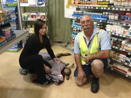 Wildlife Victoria volunteer Ella Rountree (L) and Geoffrey Fuller pose with a rescued kangaroo named Cyrus in a shop at Melbourne airport in this October 16, 2013 handout picture. REUTERS/Wildlife Victoria/Handout