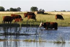 Unas vacas pastando en un campo parcialmente inundado en Estación Islas, Argentina, nov 24 2012. Científicos argentinos lograron transformar el metano que emiten las vacas por sus bocas cuando están pastando en bioenergía, evitando emanaciones de un gas que es una de las principales causas del calentamiento global. REUTERS/Enrique Marcarian