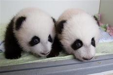 Giant panda twin cubs Mei Huan (L) and Mei Lun, the first pair of twin giant panda cubs to be born in the United States and survive, are pictured in this Zoo Atlanta photo released to Reuters on October 23, 2013. REUTERS/Adam K Thompson/Zoo Atlanta/Handout via Reuters