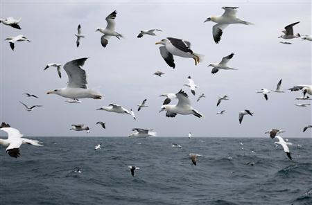 Northern gannets (morus bassanus) and great black-backed gulls (larus marinus) fly over the waves as the Boulogne sur Mer based trawler 'Nicolas Jeremy' travels off the coast of Calais, northern France October 22, 2013. REUTERS-Pascal Rossignol