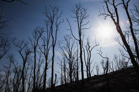 Trees burned by the Clover Fire are seen in Happy Valley, California, September 11, 2013. REUTERS/Max Whittaker