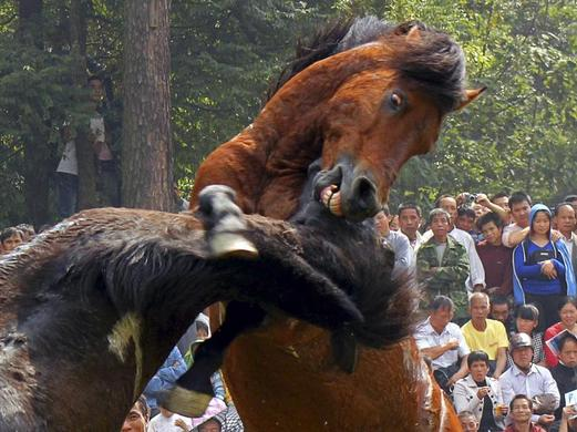 People watch horses fight during a traditional local event held by the Miao ethnic minority in Rongshui county, Liuzhou, Guangxi ethnic Zhuang autonomous region, China October 26, 2013. Horse fighting is a 500-year-old custom for the Miao people.  REUTERS-Stringer