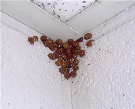 Lady beetles are congregating in a corner of a ceiling in this photo courtesy of University of Tennessee released to Reuters on November 6, 2013. REUTERS/David Cook/University of Tennessee/Handout