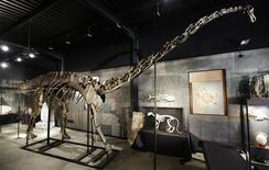 Le squelette d'un diplodocus ayant vécu il y a 160 millions d'années sur un territoire correspondant aux Etats-Unis actuels a été adjugé mercredi pour 400.000 livres (480.000 euros) à un établissement public resté anonyme. /Photo prise le 25 novembre 2013/REUTERS/Luke MacGregor