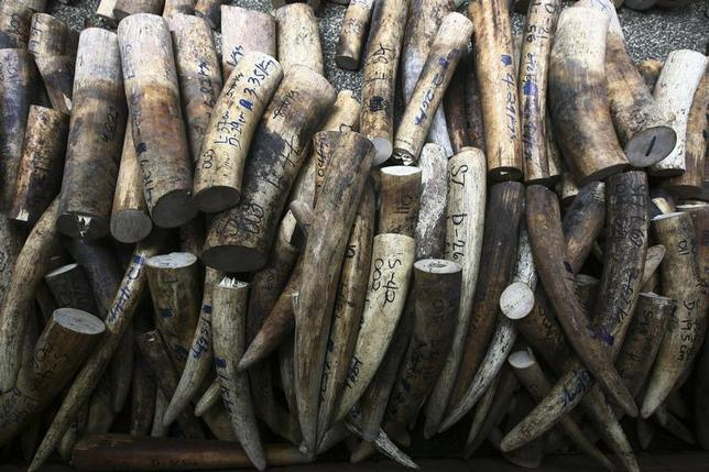 Confiscated elephant ivory tusks are pictured on the floor of the rescue center at the Ninoy Aquino Parks and Wildlife center in Quezon city, metro Manila June 14, 2013. REUTERS/Romeo Ranoco
