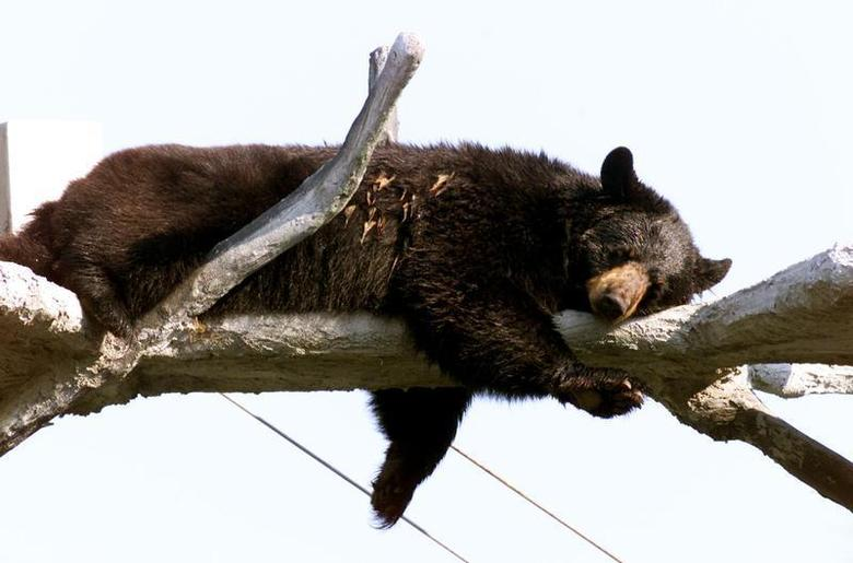 Natasha, a Florida black bear, relaxes high atop a tree perch at the Jungle Adventures theme park in Christmas, Florida August 17, 2000. REUTERS
