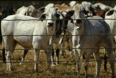Foto de arquivo de gado aguardando em uma clausura em Noonamah, cerca de 50 km ao sul da cidade australiana de Darwin. As exportações da carne bovina da Austrália devem subir 7 por cento na atual temporada 2013/14, para um recorde, satisfazendo o apetite da China, segundo previsão de um instituto australiano. 07/06/2004 REUTERS/Tim Wimborne/Files