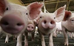 Porcos são fotografados em uma fazenda em Lucas do Rio Verde, no Mato Grosso. Os preços do suíno vivo e da carne suína iniciaram dezembro em alta, refletindo o típico aquecimento da demanda de fim de ano, época de grande consumo, avaliou o Centro de Estudos Avançados em Economia Aplicada (Cepea) nesta quarta-feira. 28/02/2008. REUTERS/Paulo Whitaker