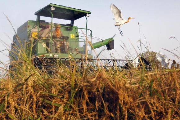 Workers harvest rice crop as egrets fly in a field on the outskirts of Ahmedabad May 13, 2013. REUTERS/Amit Dave/Files