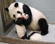 Giant Panda Lun Lun picks up her panda cub Mei Lun to nurse him as her other cub Mei Huan sleeps at her feet at the Atlanta Zoo in Atlanta, Georgia November 14, 2013. REUTERS/Tami Chappell