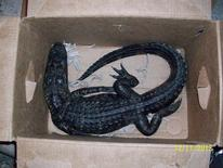 An alligator a man tried to trade at a convenience store is pictured in this handout photo courtesy of the Florida Fish and Wildlife Conservation Commission, provided to Reuters December 17, 2013. REUTERS/Florida Fish and Wildlife Conservation Commission