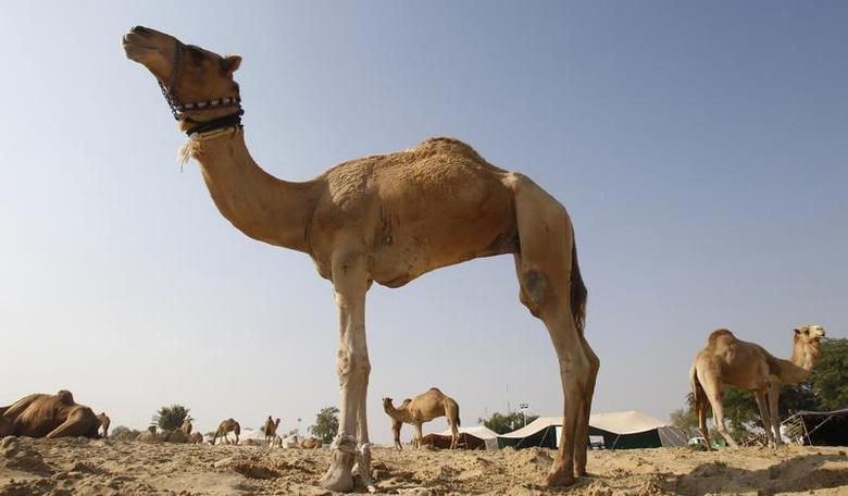 Camels are seen in a farm in Doha December 5, 2010. REUTERS/Fadi Al-Assaad