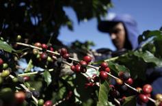 Operário em uma plantação de café colhe grãos em fazenda de Espírito Santo do Pinhal, 200km a leste de São Paulo. A safra brasileira em café em 2014 deverá cair para 48,34 milhões de sacas de 60 kg, disse nesta quinta-feira a Companhia Nacional de Abastecimento (Conab), em sua primeira estimativa para a nova temporada, em meio a uma redução na produção de arábica, variedade que registrava ciclos de crescimento desde 2005. 18/05/2012. REUTERS/Nacho Doce