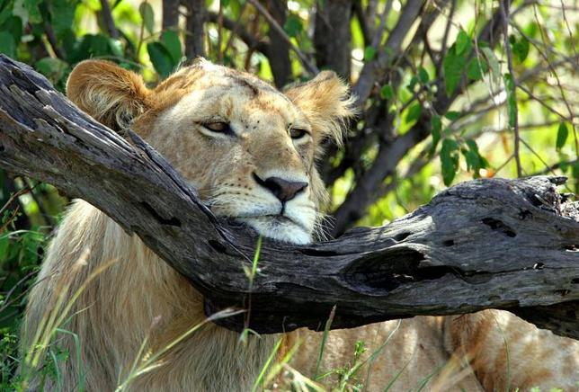 -PHOTO TAKEN 11JAN05- A lion rests his head on a tree branch in Kenya's Maasai Mara game reserve, 240 km (150 miles) west of capital [Nairobi], January 11, 2005.