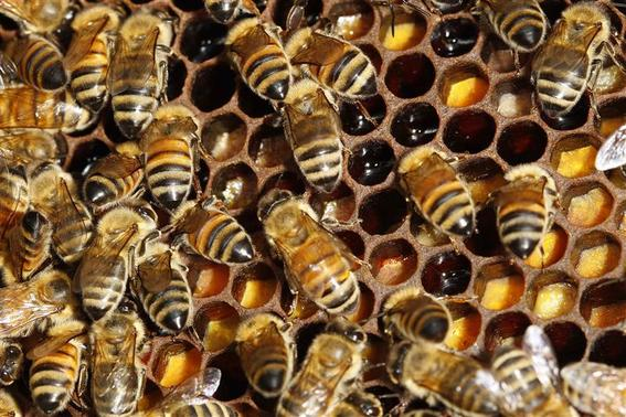 Detail of bees on their hive in Paris in this September 24, 2010 file photo. REUTERS/Jacky Naegelen/Files