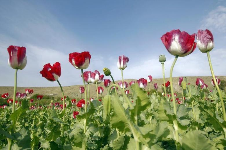 Poppy flowers are seen in full bloom in a field in the eastern province of Jalalabad, April 7, 2013. REUTERS/ Parwiz