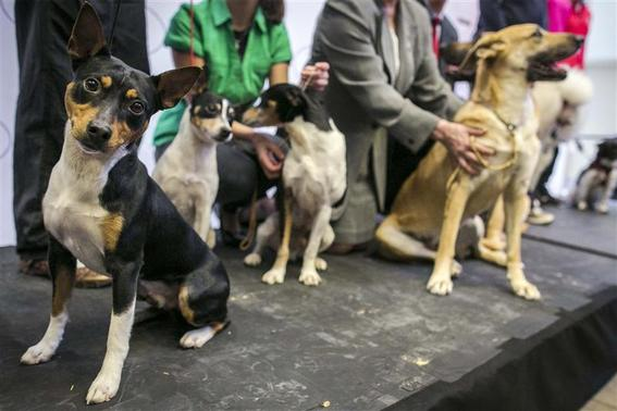 A rat terrier is introduced as a new breed during a news conference to announce the line up for the 138th Westminster Kennel Club Dog Show at Madison Square Garden in Manhattan in New York January 15, 2014. REUTERS/Brendan McDermid