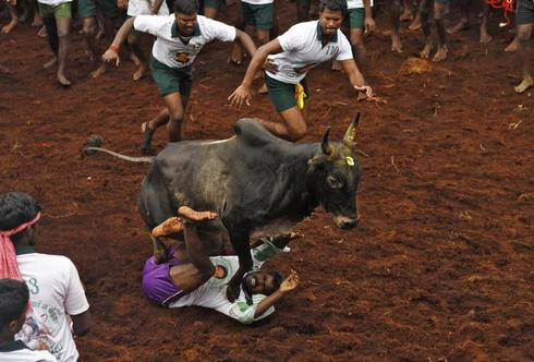 Taming of the bull
