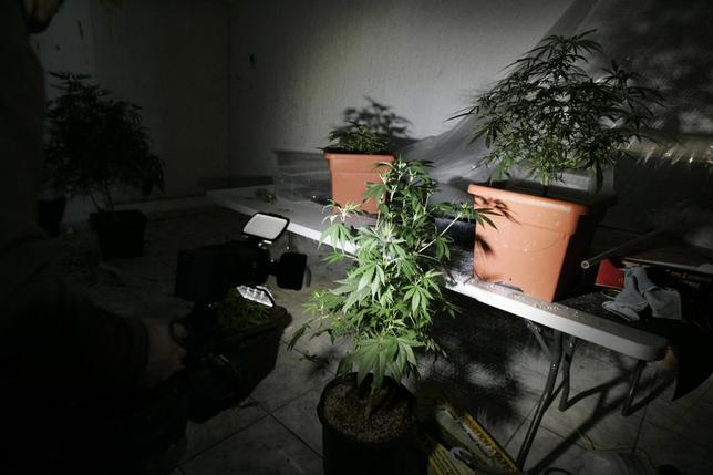 Marijuana plants are seen in a room of a house in Zapopan, neighbouring Guadalajara, January 22, 2014. REUTERS/Alejandro Acosta