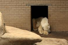 Wang, the only polar bear in Africa, reacts as he mourns the death of his companion, Geebee, for the past two weeks at the Johannesburg Zoo, January 31, 2014. REUTERS/Siphiwe Sibeko
