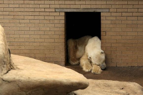 ''Έσβησε'' η τελευταία πολική αρκούδα της Αφρικής...