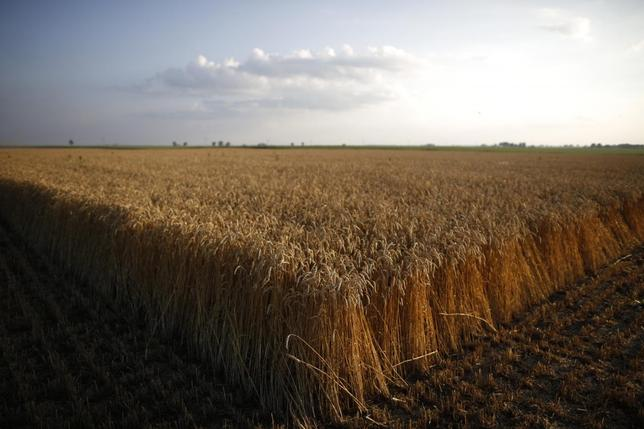 Stalks of soft red winter wheat are seen on a farm in Dixon, Illinois, July 16, 2013. REUTERS/Jim Young
