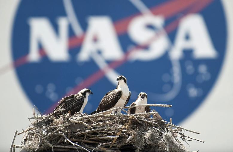 A family of Osprey are seen outside the NASA Kennedy Space Center Vehicle Assembly Building in Cape Canaveral, Florida in this file photo taken May 13, 2010. REUTERS/Bill Ingalls/NASA/Handout/Files