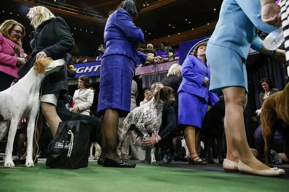 Westminster Kennel Club Closes In On Year 39 S Top Dog Reuters