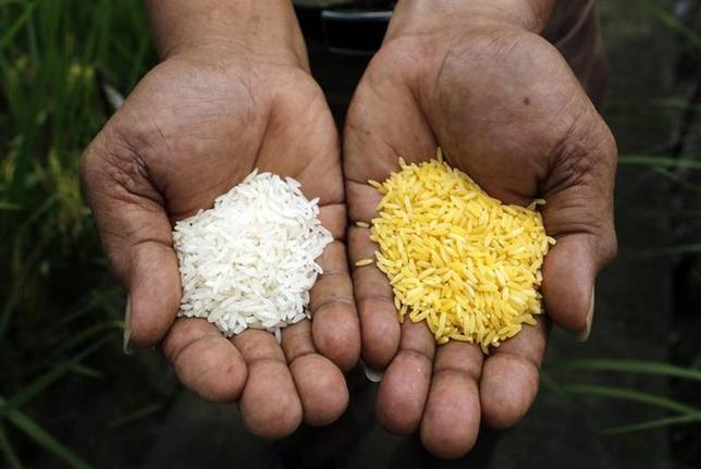 A scientist shows ''Golden Rice'' (R) and ordinary rice at the International Rice Research Institute in Los Banos, Laguna south of Manila, August 14, 2013. REUTERS/Erik De Castro/Files