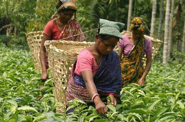 Tea garden workers pluck tea leaves at a tea garden estate in Poteya village, about 75 km from Siliguri April 26, 2006. REUTERS/Rupak De Chowdhuri/Files