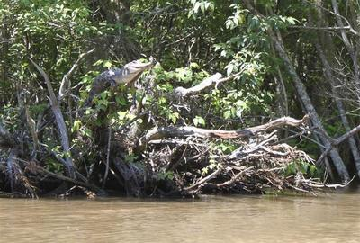 Crocodiles can climb trees: researchers