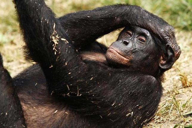 A bonobo lies at the world's only sanctuary for the endangered great ape at Lola Ya Bonobo just outside Congo's capital Kinshasa, July 31, 2010. REUTERS/Katrina Manson/Files