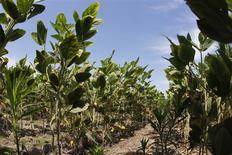 Un sojal en Henderson, EEUU, jul 24 2012. Estados Unidos está en camino de lograr cosechas récord de soja y maíz en el 2014/15, lo que incrementaría los inventarios finales y presionaría a la baja a los precios, dijo el viernes el Departamento de Agricultura. REUTERS/John Sommers II