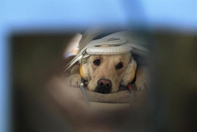 2月21日、犬は人間にとって「最良の友」━━。それを裏付けるような、犬が人間の感情を理解している可能性を示す研究結果が、ハンガリーの科学者によって明らかにされた。写真はMRI装置に横たわる犬。9日撮影(2014年 ロイター/Bernadett Szabo)