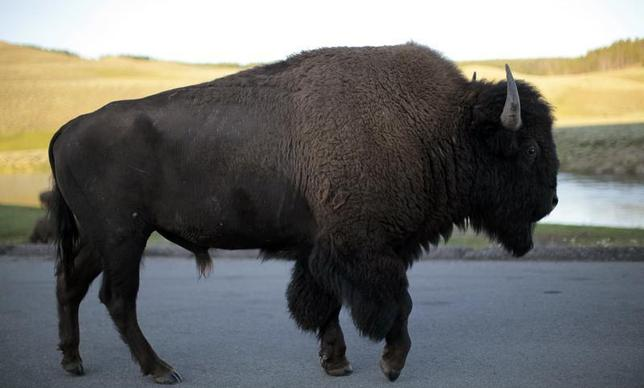 A bison walks in Yellowstone National Park, Wyoming August 10, 2011. REUTERS/Lucy Nicholson