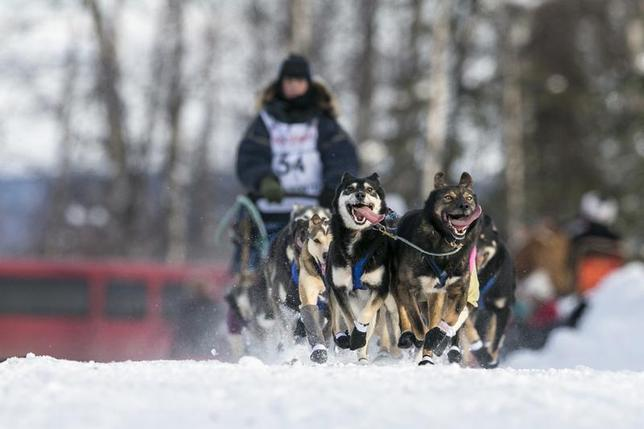 Jessica Hendricks' team races down the trail at the re-start of the Iditarod dog sled race in Willow, Alaska March 3, 2013. REUTERS/Nathaniel Wilder