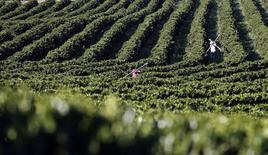 Trabalhadores carregam canos para instalar sistemas de irrigação em uma fazenda de café, em Santo Antônio do Jardim. A Organização Internacional do Café (OIC) espera que o mercado global do produto se torne deficitário no ciclo 2014/15 se a seca no Brasil continuar. 06/02/2014 REUTERS/Paulo Whitaker