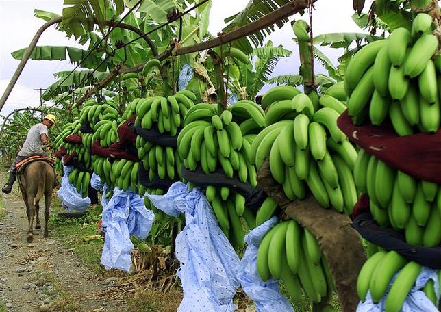 Osielito Santos pulls bunches of bananas by horse during harvesting at the Enilda banana farm at Bocas del Toro, on Panama's Atlantic coast, in this file photo dated October 10, 2002. Reuters/files