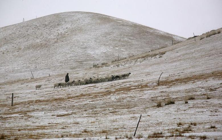 A Tibetan herder walks behind his herd of sheep and goats as they walk through a field on the outskirts of Jintan township, near the Qinghai Lake, in Qinghai province March 11, 2009. REUTERS/David Gray