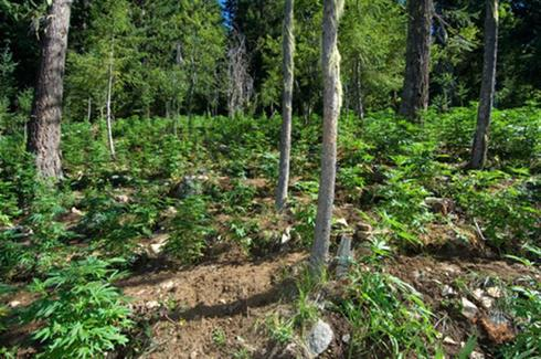 U.S. weighs crackdown on environmental damage from pot growers
