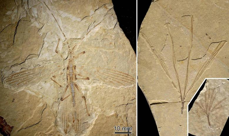 A fossil stick insect referred to as Cretophasmomima melanogramma, in Inner Mongolia at the Jehol locality, a site from the Cretaceous period (L), and a plant fossil, Membranifolia admirabilis (R) are pictured in this handout photo courtesy of, Olivier Bethoux, a paleontologist with the National Museum of Natural History in Paris. REUTERS/O. Béthoux (L), F. Jacques (R)/National Museum of Natural History in Paris/Handout