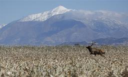 Un alce avanza por un maizal en la granja Kenison en Levan, EEUU, oct 5 2013. China hizo la semana pasada la primera compra de maíz estadounidense en más de dos meses, pese a una disputa no resuelta sobre una variedad transgénica que llevó al país asiático a rechazar las importaciones del grano norteamericano, dijo el jueves el Departamento de Agricultura. REUTERS/Jim Urquhart
