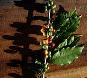 Frutas de café em uma fazenda em Santo Antônio do Jardim. O Conselho Nacional do Café (CNC) alertou nesta sexta-feira que a seca severa e o tempo quente no início do ano, nas principais regiões produtoras do país, levará a uma substancial redução da colheita do Brasil em 2014 e em 2015. 06/02/2014 REUTERS/Paulo Whitaker