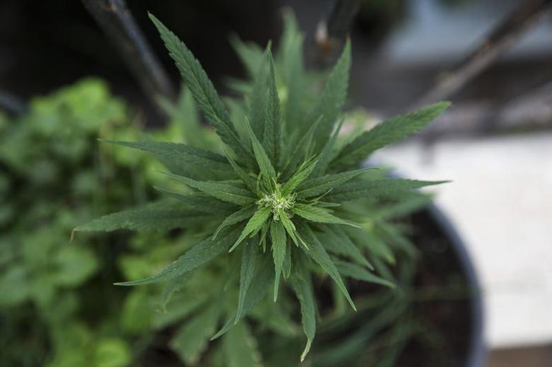 A home-grown marijuana plant is seen at an undisclosed location in Israel January 28, 2014. REUTERS/Baz Ratner